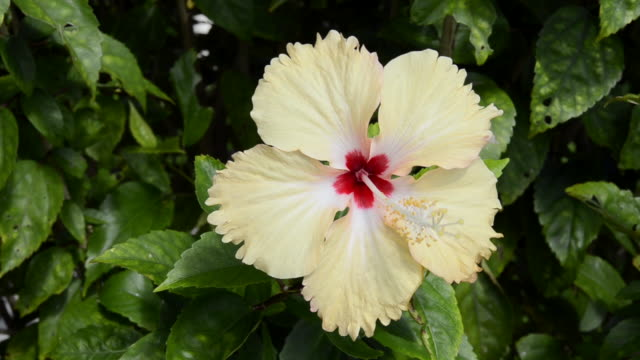 Cu Shot Of Hibiscus Flower Moving In Wind Ko Hai Krabi Thailand