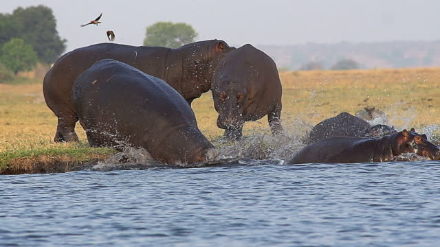 vidéos et rushes de ms pan slo mo shot of hippopotamus amphibius, group entering in river / chobe game reserve, botswana, south africa / chobe game reserve, botswana, south africa - hippopotame