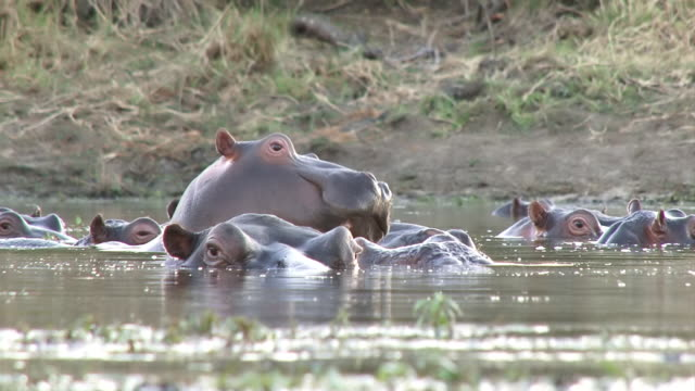 ms la shot of hippos blowing air and observing environment  / kruger national park, mpumalanga, south africa - krüger nationalpark stock-videos und b-roll-filmmaterial