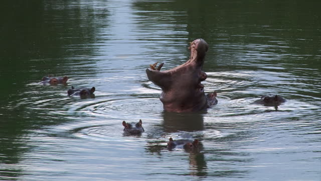 ms la shot of hippos gaping and showing teeth  / kruger national park, mpumalanga, south africa - krüger nationalpark stock-videos und b-roll-filmmaterial