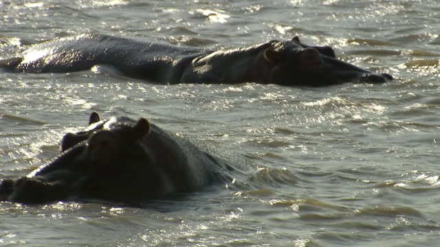 vidéos et rushes de ms shot of hippos in water, st lucia / kwazulu-natal, south africa - hippopotame