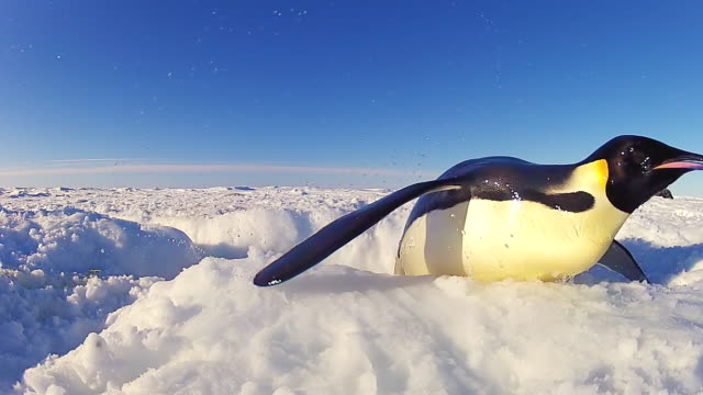 cu la shot of hole in ice as emperor penguins jumping out with others struggling to get out / dumont d'urville station, adelie land, antarctica - careless stock videos & royalty-free footage