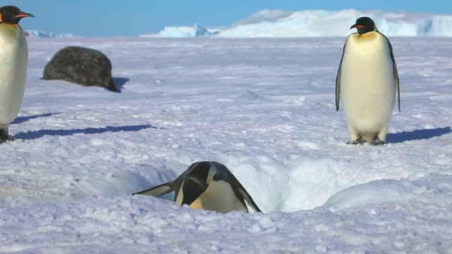 vídeos y material grabado en eventos de stock de ms la ts shot of hole in snowy icefield as emperor penguin struggling out of water and levers their way out using its beak    / dumont d'urville station, adelie land, antarctica - agujero
