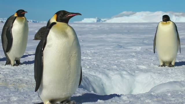 ms td shot of hole in snowy icesheet with single emperor penguin in ground as other dive in / dumont d urville station, adelie land, antarctica  - ice sheet stock videos & royalty-free footage