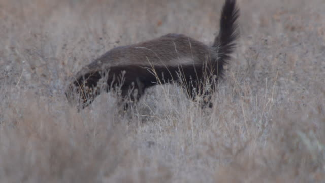 MS TS Shot of honey badger hunting and digging with birds  / Central Kalahari Game Reserve, Botswana
