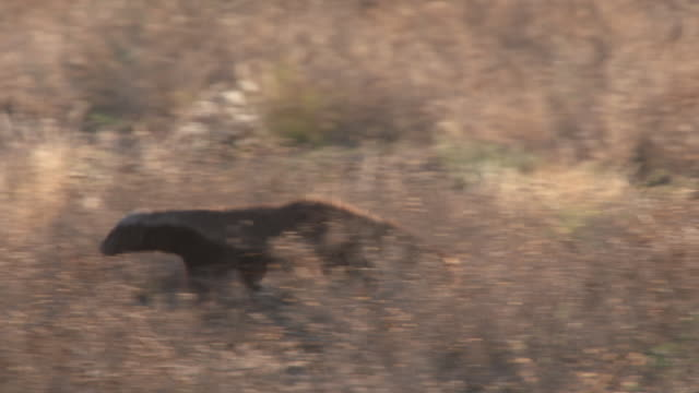 MS TS Shot of honey badger running through scrub with black back jackal  / Central Kalahari Game Reserve, Botswana