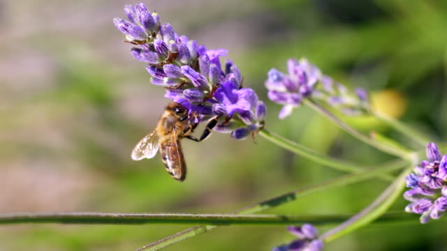 ecu slo mo shot of honey bee feeding on nectar from lavender flower, and flying away backwards / les mureaux, yvelines (78), france - lavender stock videos & royalty-free footage
