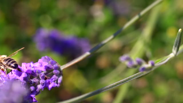 ecu slo mo pan shot of honey bee feeding on nectar from lavender flower, and taking off with tongue outside / les mureaux, yvelines (78), france - lavender stock videos & royalty-free footage