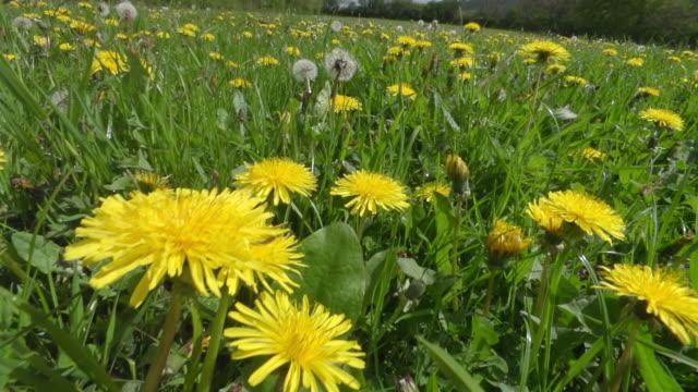 ms pov slo mo shot of honey bee nectar feeding in organically farmed flower meadow / newcastle emlyn, ceredigion, united kingdom - insekt stock-videos und b-roll-filmmaterial