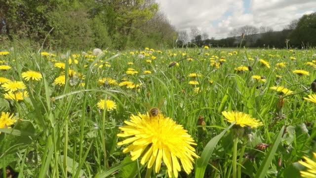 ms slo mo shot of honey bee nectar feeding in organically farmed flower meadow / newcastle emlyn, ceredigion, united kingdom - kamerafahrt auf schienen stock-videos und b-roll-filmmaterial