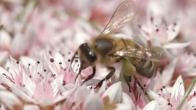 stockvideo's en b-roll-footage met ecu shot of honey bee nectar feeding / newcastle emlyn, ceredigion, united kingdom - honingbij