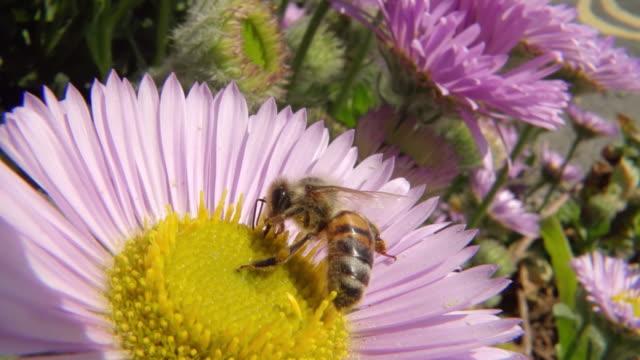 stockvideo's en b-roll-footage met ecu ts slo mo shot of honey bee nectar feeding / newcastle emlyn, ceredigion, united kingdom - honingbij
