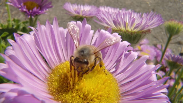 stockvideo's en b-roll-footage met ecu slo mo shot of honey bee nectar feeding / newcastle emlyn, ceredigion, united kingdom - honingbij