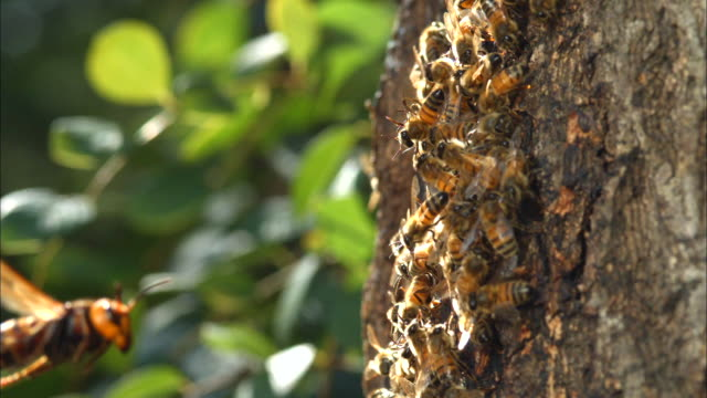 Shot of Honeybee snuggling and defending their hive From Hornet(Vespa mandarina)'s attack