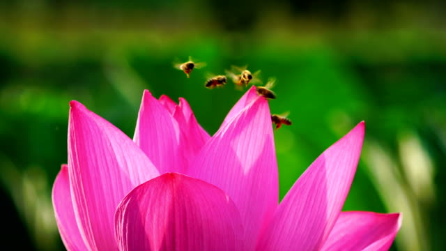 vídeos y material grabado en eventos de stock de shot of honeybees collecting nectar from lotus flower - abeja