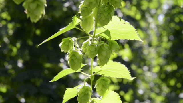 cu shot of hop cones in hop garden (humulus lupulus) / mainburg, hallertau, bavaria, germany - 作物点の映像素材/bロール