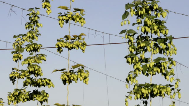 ms shot of hop cones in hop garden (humulus lupulus) / mainburg, hallertau, bavaria, germany - plantation stock videos & royalty-free footage