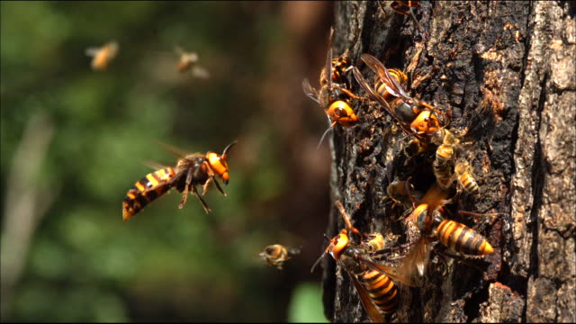 vidéos et rushes de shot of hornet(vespa mandarina) attacking honeybee and their hive - abeille