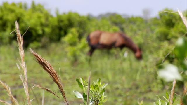 ws r/f shot of horse grazing in with duck walking in brush / rodanthe, north carolina, united states - braun stock-videos und b-roll-filmmaterial