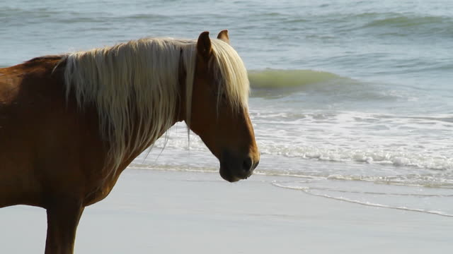 ms shot of horse standing on beach blonde hair looking / rodanthe, north carolina, united states - wiese点の映像素材/bロール