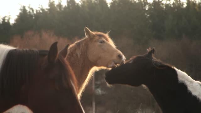 CU Shot of horses at sunrise on rural farm / Orcas Island, Washington, United States