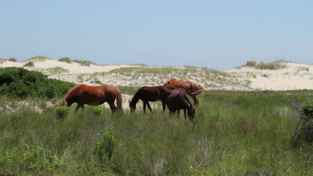 ws shot of horses grazing in tall ocean grass / rodanthe, north carolina, united states - north carolina beach stock videos & royalty-free footage