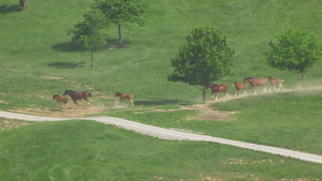MS AERIAL TS Shot of horses running at Warm Springs Ranch / Boonville, Missouri, United States