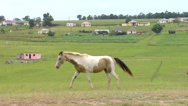 stockvideo's en b-roll-footage met ms pan ts shot of horses walking / eastern cape, south africa - vier dieren
