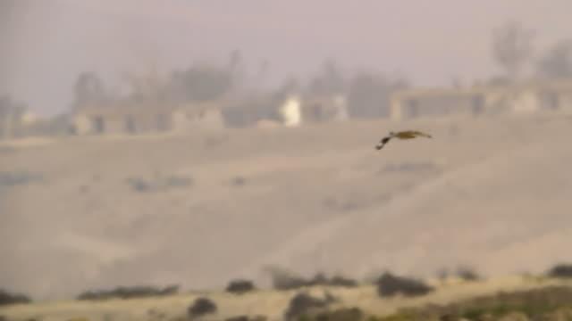 ms ts shot of houbara bustards (chlamydotis undulata) flying in desert / nitzana, negev desert, israel - negev stock videos & royalty-free footage