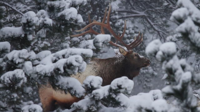 stockvideo's en b-roll-footage met ms shot of huge bull elk standing on top of hill in ice area on forest in blizzard / estes park, colorado, united states - estes park