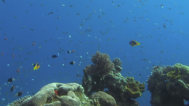 CU ZO Shot of hundreds of small fish swimming near coral reef in sea / Eilat, Red Sea, Israel