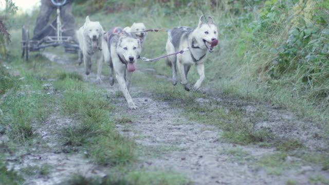 MS SLO MO Shot of Huskies dogs running through forest pulling man on quad bike / Lydney, Gloucestershire, United Kingdom