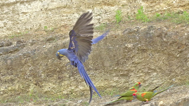 ms slo mo ts shot of hyacinth macaw, anodorhynchus hyacinthinus taking off - group of animals stock videos & royalty-free footage