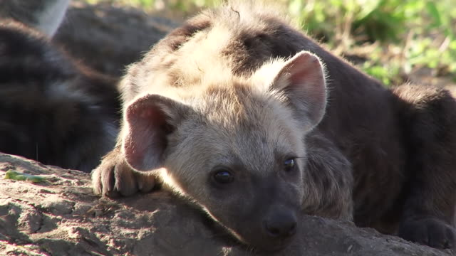 CU Shot of Hyena pup lying down and watching  / Kruger National Park, Mpumalanga, South Africa