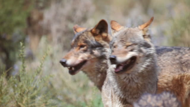 ms ts shot of iberian wolves in forest / antequera, malaga, spain - gruppo di animali video stock e b–roll