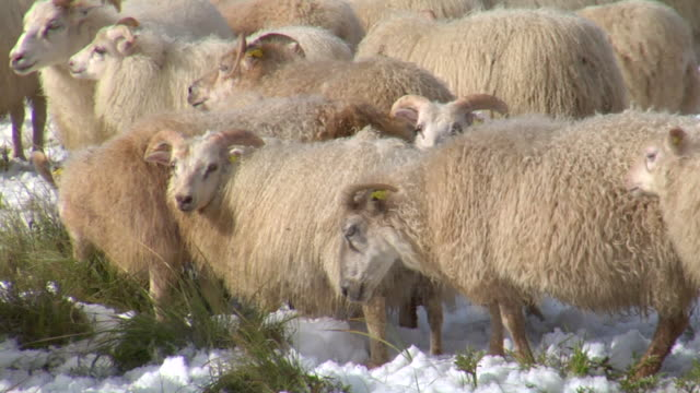 stockvideo's en b-roll-footage met cu shot of icelandic sheep grazing in snow covered grass during rettir / skagafjorour, nordhurland vestra, iceland  - wiese
