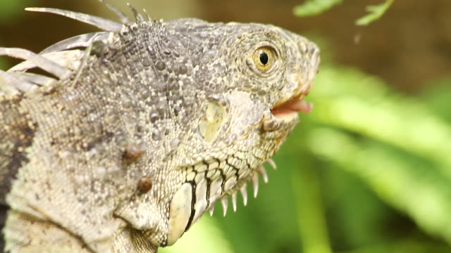cu shot of iguana / abergris caye, belize, belize - wiese stock videos & royalty-free footage