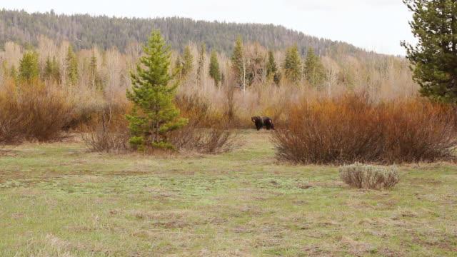 WS Shot of injured grizzly bear walking through willows / Tetons, Wyoming, United States