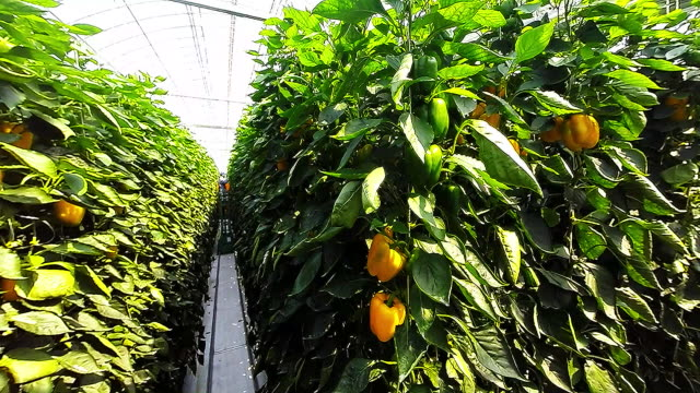 shot of inner part of vinyl greenhouse for growing paprika - peperone dolce video stock e b–roll