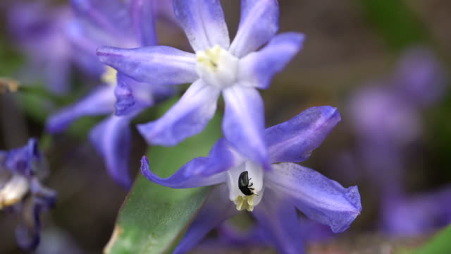 ECU Shot of insect in blue scilla (Scilla bifolia) / Saarburg, Rhineland-Palatinate, Germany