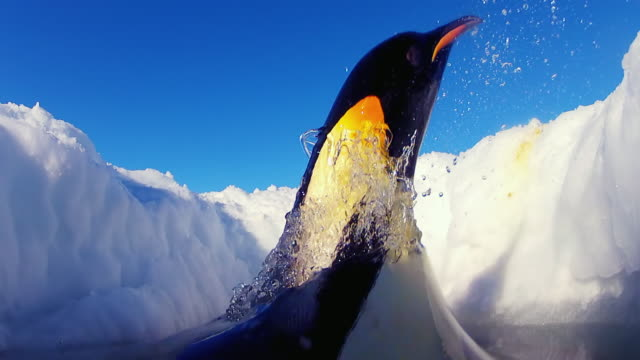 cu la shot of inside hole in ice as emperor penguin jumping out of water onto ice  / dumont d'urville station, adelie land, antarctica - wolkenloser himmel stock-videos und b-roll-filmmaterial