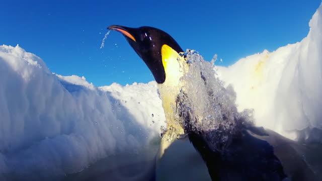 vídeos y material grabado en eventos de stock de cu la shot of inside hole in ice as emperor penguin jumping out of water onto ice  / dumont d'urville station, adelie land, antarctica - agujero
