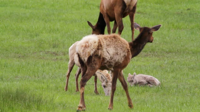 stockvideo's en b-roll-footage met ms shot of interaction between bighorn sheep ewes with lambs and elk at pond / estes park, colorado, united states - estes park