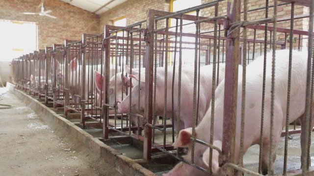 ms shot of interior of pig farm / xian, shaanxi, china - pig stock videos & royalty-free footage