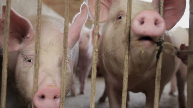 stockvideo's en b-roll-footage met ms shot of interior of pig farm / xian, shaanxi, china - varken