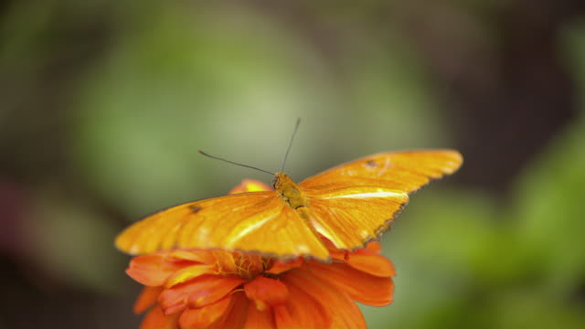 vídeos de stock e filmes b-roll de cu shot of julia heliconian orange butterfly on atop orange flower / santa barbara, california, united states - um animal