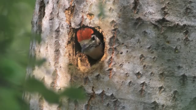 vídeos y material grabado en eventos de stock de cu shot of juvenile great spotted woodpecker (dendrocopos major) ,peeping out of nesting hole / tulcea, danube delta, romania - rumania