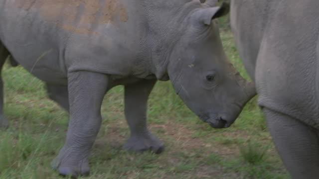 stockvideo's en b-roll-footage met ms pan shot of juvenile rhinoceros shying away / south africa - vier dieren