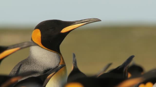 cu shot of king penguin aptenodytes patagonicus adult in group / volunteer point, falkland islands - 押す点の映像素材/bロール