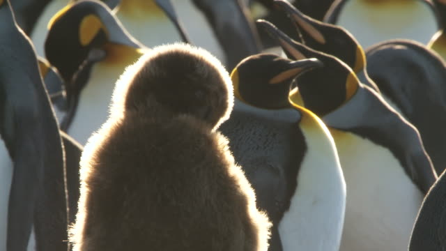 vídeos y material grabado en eventos de stock de ms shot of king penguin aptenodytes patagonicus chick preening / volunteer point, falkland islands - pingüino cara blanca